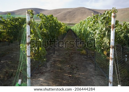Grape vineyard pathway with mountain hill