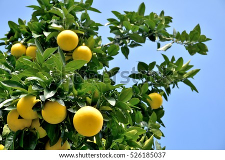 grapefruit tree stock images, royaltyfree images  vectors, Natural flower