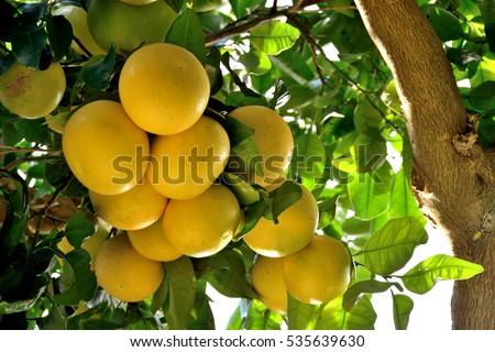 citrus tree stock images, royaltyfree images  vectors  shutterstock, Natural flower