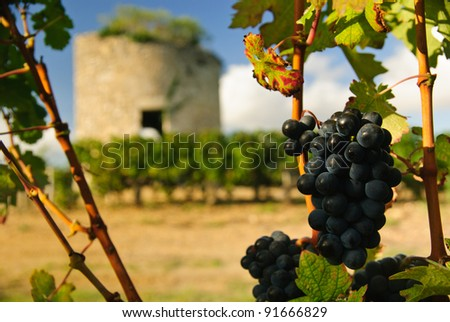 Grapes and medieval tower in vineyard in region Medoc, France - stock photo