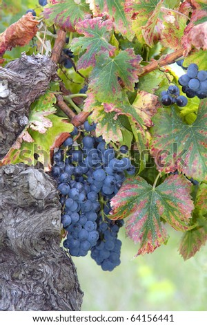 Grapes at a vineyard in France, Europe