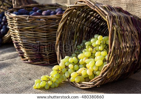 Grapes autumn harvest. Wicker basket with freshly harvested white grapes on burlap background.