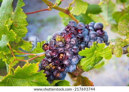 Grapes being eaten by Bees at a Winery - stock photo