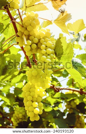 Grapes cluster - stock photo