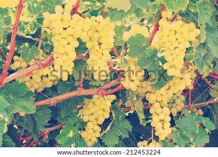 Grapes clusters on a vineyard done with a vintage retro instagram filter - stock photo