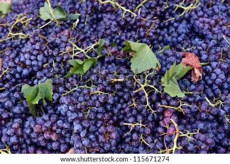 grapes for red wine at the winery - stock photo