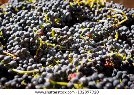 Grapes from the Barossa Valley wine region - stock photo