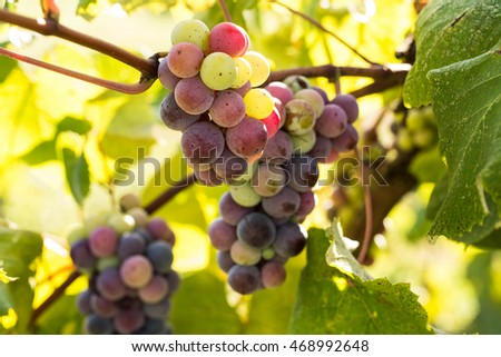 Grapes growing on a vine in a wine vineyard in east Tennessee