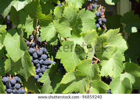 grapes grown in the sun - stock photo