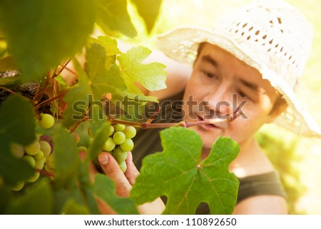 Grapes harvest. Farmer is harvesting ripe grapes in vineyard in autumn - stock photo