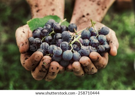 Grapes harvest. Farmers hands with freshly harvested black grapes.