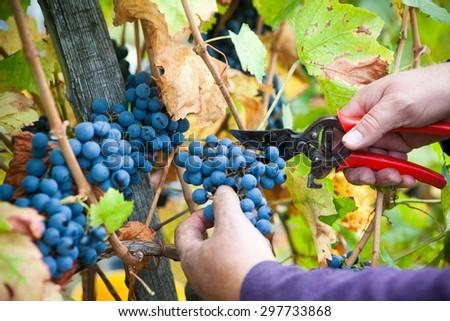 Grapes harvest in vineyard - stock photo