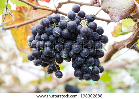 Grapes in a garden - stock photo