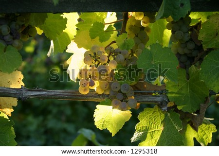 grapes in a vineyard 1 - stock photo