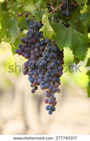 Grapes in a Vineyard in South America, Mendoza Argentina