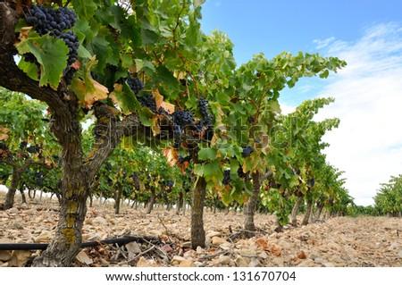 Grapes in a vineyard, La Rioja (Spain) - stock photo