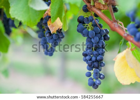 Grapes in late harvest at a winery in Yarra Valley, Australia