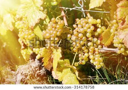 Grapes in Lavaux region, Switzerland - stock photo