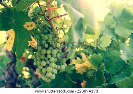 Grapes in the vineyard at sunset, autumn harvest - stock photo