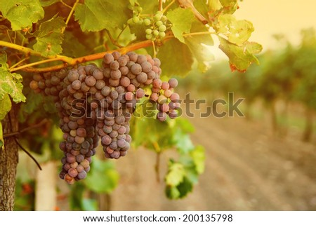 grapes in vineyard sunset - stock photo
