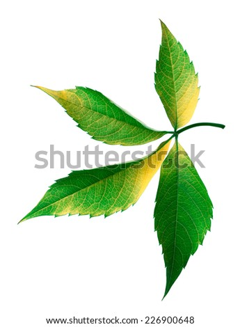 Grapes leaf (Parthenocissus quinquefolia foliage). Isolated on white background. - stock photo