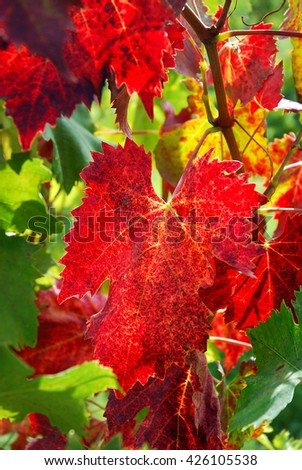 Grapes leaves in a sunny vineyard in Tuscany - stock photo
