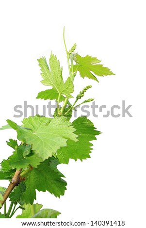 grapes leaves isolated - stock photo