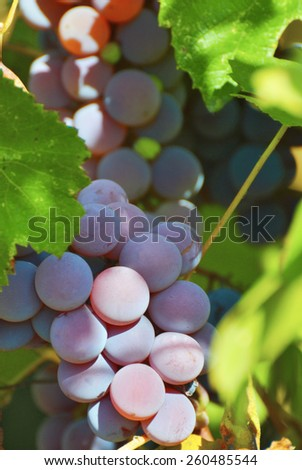 grapes on a background of leaves - stock photo