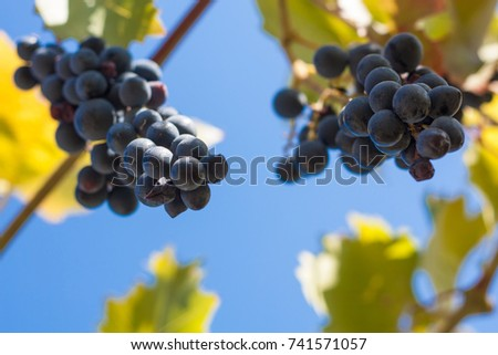 Grapes on a branch against the blue sky