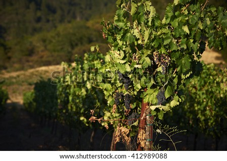 Grapes on a vine at a winery  - stock photo