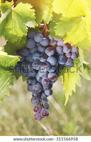 Grapes on a vine in a vineyard. Bunch of purple grapes growing on vines in vineyard, close up. Soft and blur style for background. A photo with very shallow depth of field  - stock photo