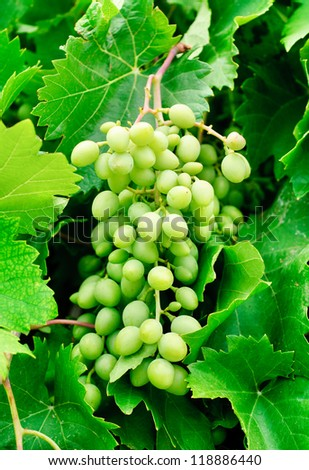 grapes  on green leaves  background - stock photo