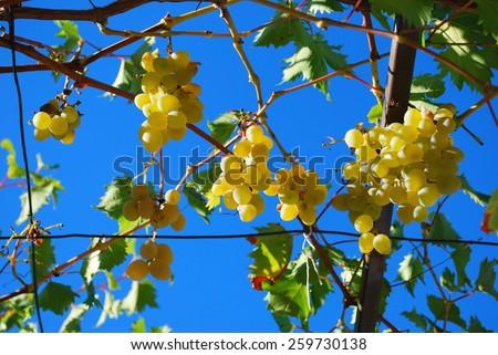 Grapes on pergola in Croatia - stock photo