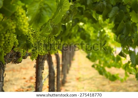 Grapes on the vine. - stock photo