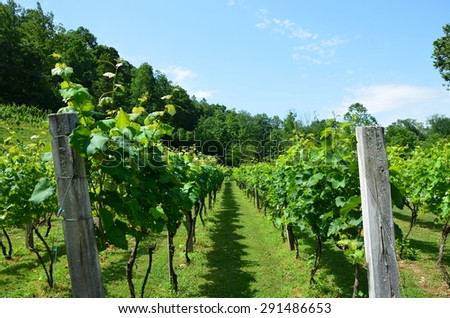 Grapes on the vine in rural North Carolina. Growing in the early summer.