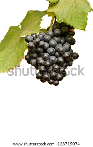 grapes on the vine ready for harvest isolated on white background