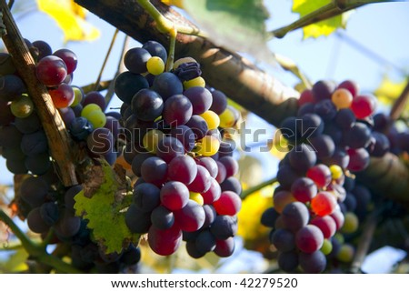 Grapes on the vineyard - stock photo