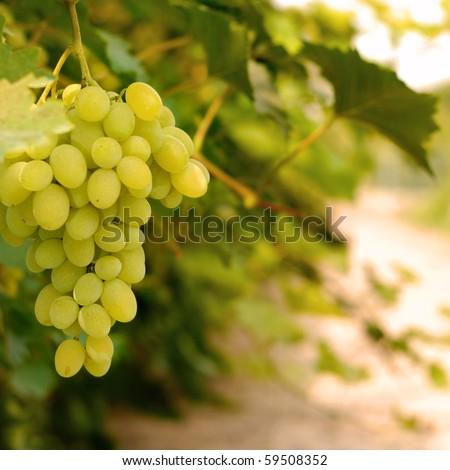 Grapes on vine - stock photo