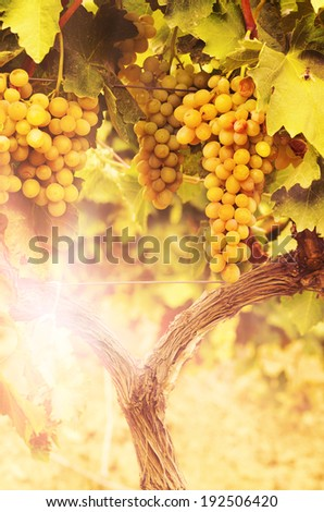 Grapes on vine over bright background - stock photo