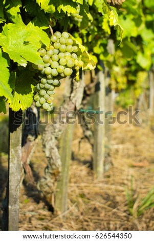 grapes on vine stock at wine yard