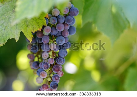 grapes outside day green leaves