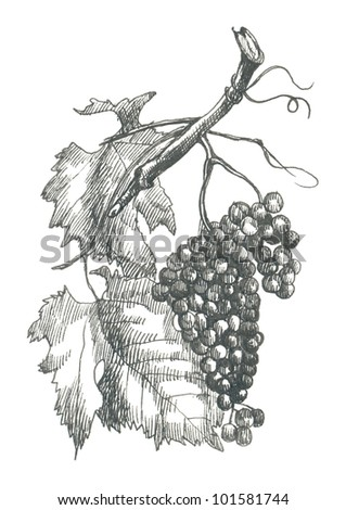 GRAPES. Picture of fruit / vegetables. (This is the original artwork - black marker pen with a hard tip.) - stock photo