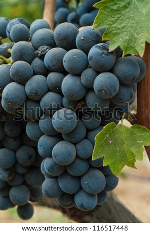 Grapes Ready for Harvest,  Sonoma County ,California, USA - stock photo