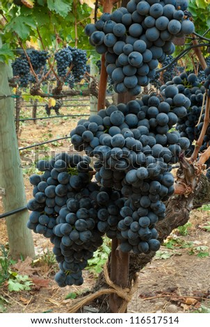 Grapes Ready for Harvest,  Sonoma County ,California, USA - stock photo