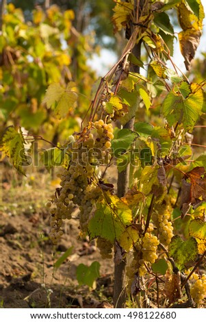 grapes ready for harvesting from vines in a beautiful autumn day. In vines.