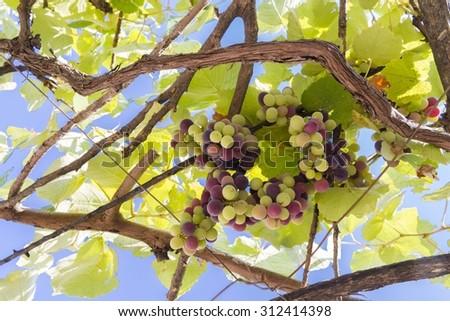 grapes,ripe and unripe, Epirus Greece - stock photo