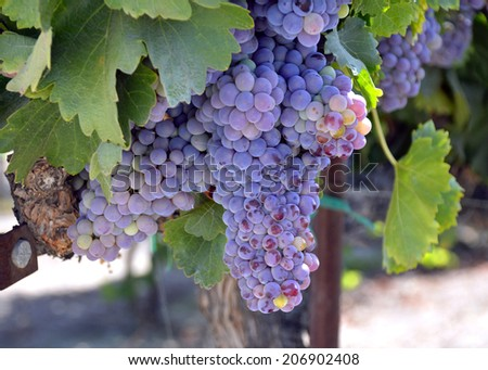 Grapes ripe juicy green and fragrant vines in the field. - stock photo