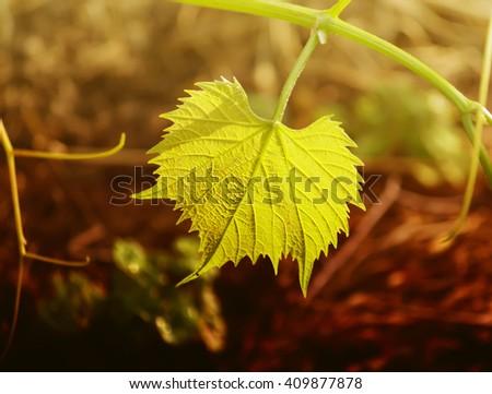 Grapes vine in sunlight - stock photo