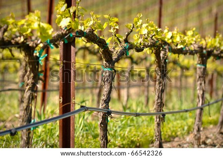 Grapes Vines in Vineyard during Spring - stock photo