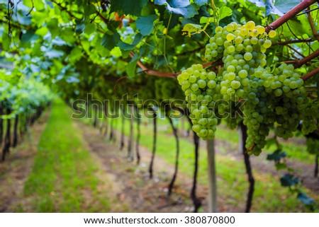 Grapes, vineyard in Tuscany, Italy  - stock photo